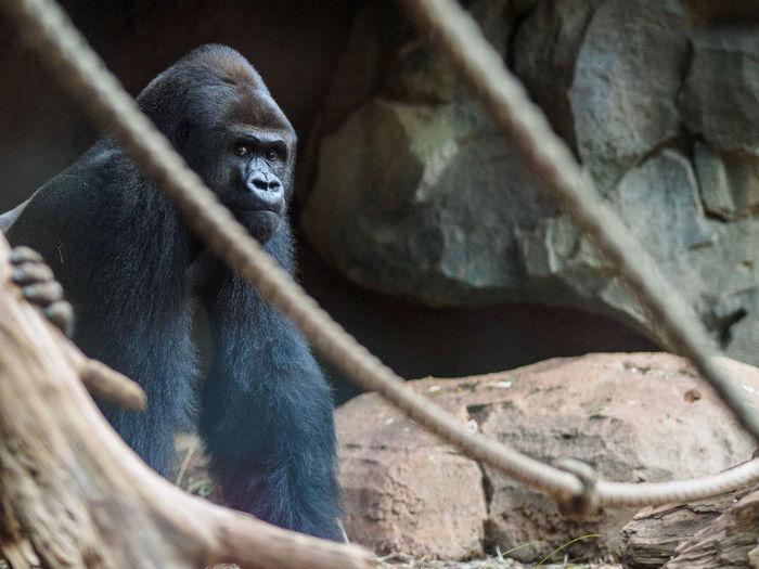 Gorilla by rocks at zoo