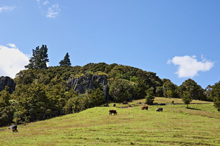Cows grazing on grassy hill against blue sky