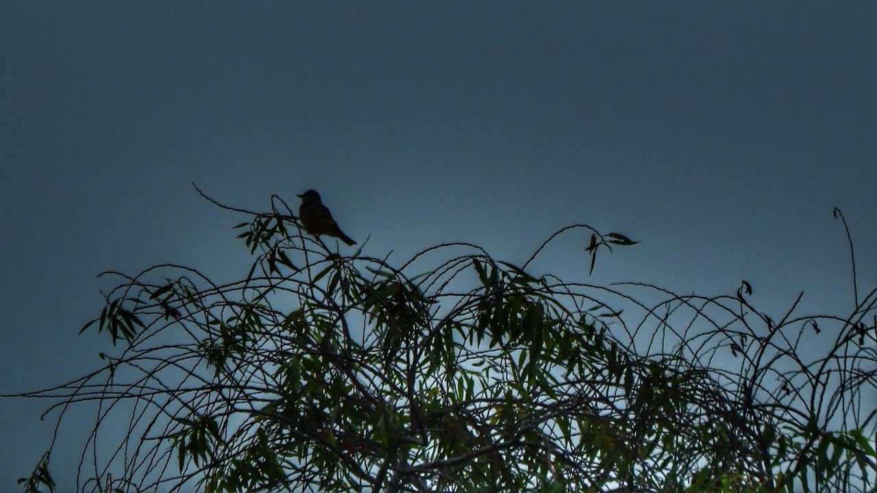animals in the wild, animal themes, bird, animal wildlife, nature, low angle view, silhouette, outdoors, no people, tree, perching, beauty in nature, clear sky, day, sky, branch