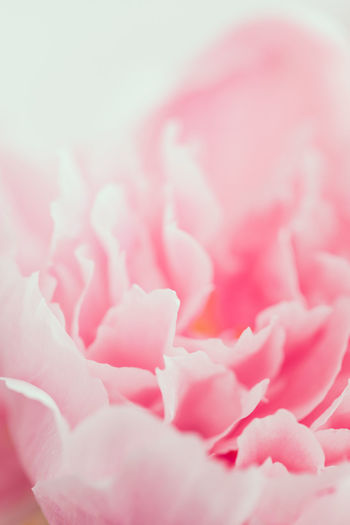 Pink Romantic Love Gift Spiral Bouquet Flowers Peony  Flower Valentine Beautiful Fondness Macro Nature Beauty Secret Affection Celebrate Relationship Soft Florist Tenderness Holiday Birthday Wedding Present Congratulation Femininity Filter Photography Floral Red Violet Purple Roses Female Blossom Happy Spring Background Decoration Pink Color Beauty In Nature The Minimalist - 2019 EyeEm Awards