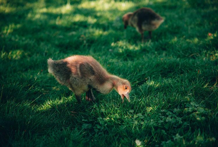 Cute gosling grassing