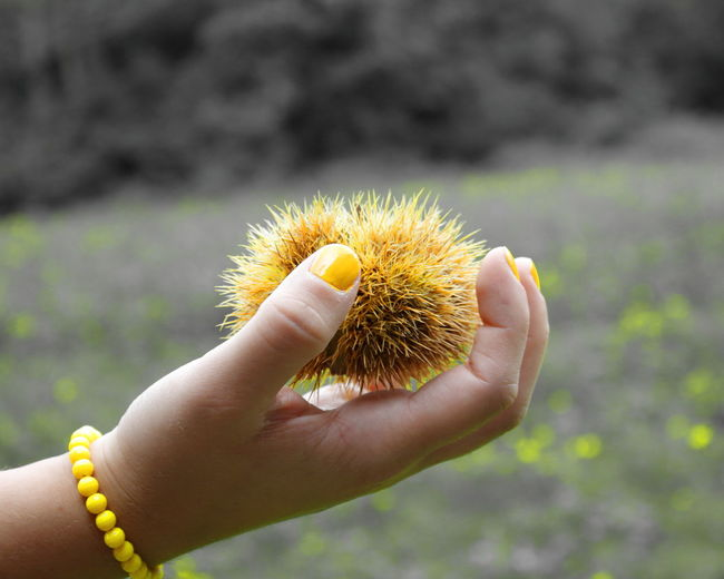 Cropped Image Of Girl Holding Chestnut