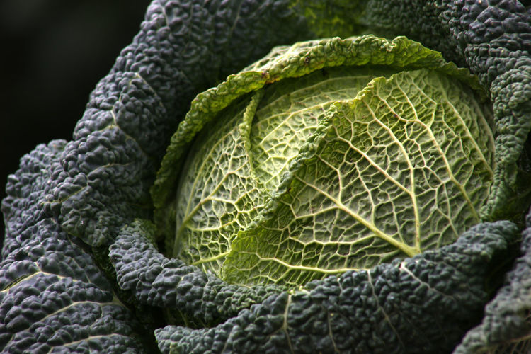 Savoy cabbage details close-up on dark or white background Backgrounds Close-up Day Food Freshness Green Color Growth Healthy Eating Leaf Nature No People Outdoors Pattern Textured  Vegetable Focus On Foreground Wirsingkohlblatt Flat Lay Flatlay Cabbage Wirsingkohl Savoy Savoy Cabbage Savoy Cabbage Leaf High Angle View