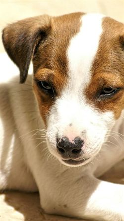 Dog Pets Looking At Camera Animal Themes Domestic Animals One Animal Portrait Close-up No People Day Mammal Boad[art Puppiesofinstagram Jackrussel Youngboy Jack Russel Terrier Jackrusselterrier