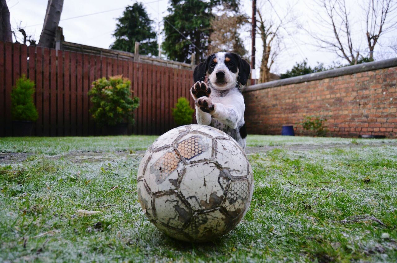 Dog In Front Of Ball On Grassy Field