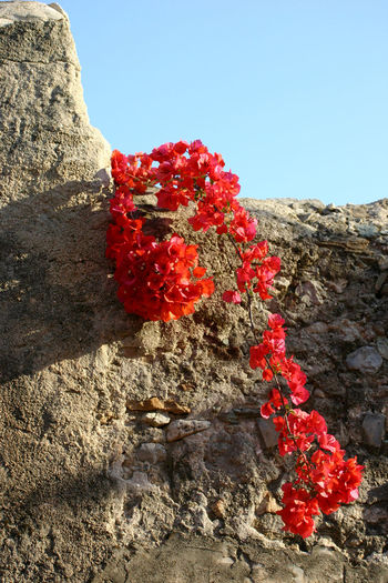 Afternoon Bougainville Copy Space Mediterranean  Old Wall Sunlight Bougainvillea Bougainvillea Flower Branch Clear Sky Day Daylight Flower Grey Liguria Litay Low Angle View No People Outdoors Plant Red Sidelight Stone Wall Sunlight Tranquility