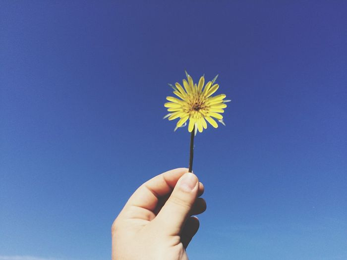 Cropped hand holding yellow dandelion flower against clear blue sky