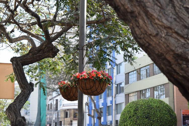 Day Flower Pot Lima Perú Miraflores Red Flower Street Suspended Trees First Eyeem Photo