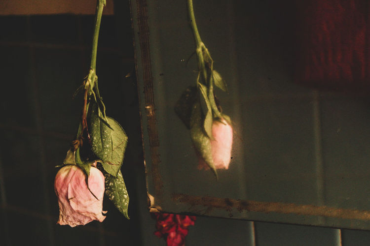 Close-up of wilted roses hanging against wall