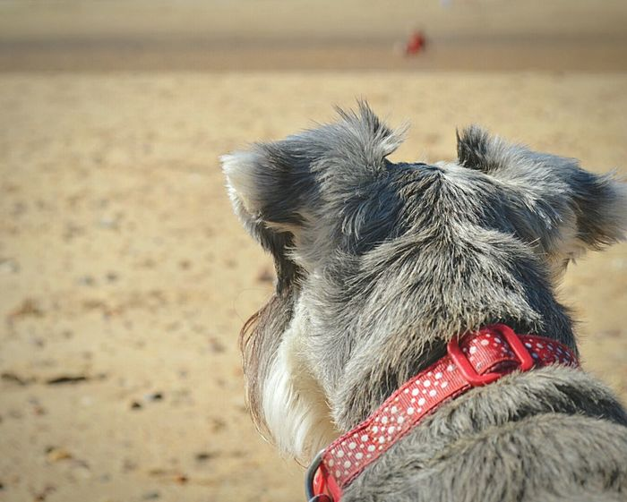 Dog At The Beach My Dog Sophie Mini Schnauzer Schnauzer Terrier Pets Pet Photography  Cute Pets Day At The Beach Beach Beach Day Sandy Beach Beach Photography Seaside British Seaside Sunny Day Walk On The Beach  Frinton-on-Sea United Kingdom Nikon D3200