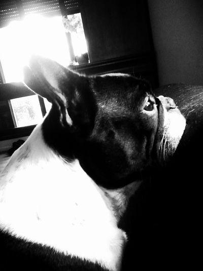 My French Bulldog <3