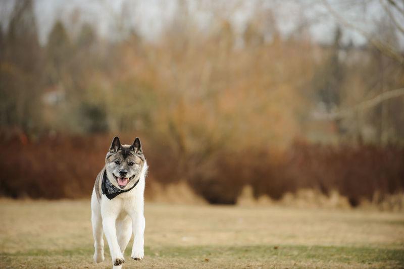 Portrait of japanese akita running on field