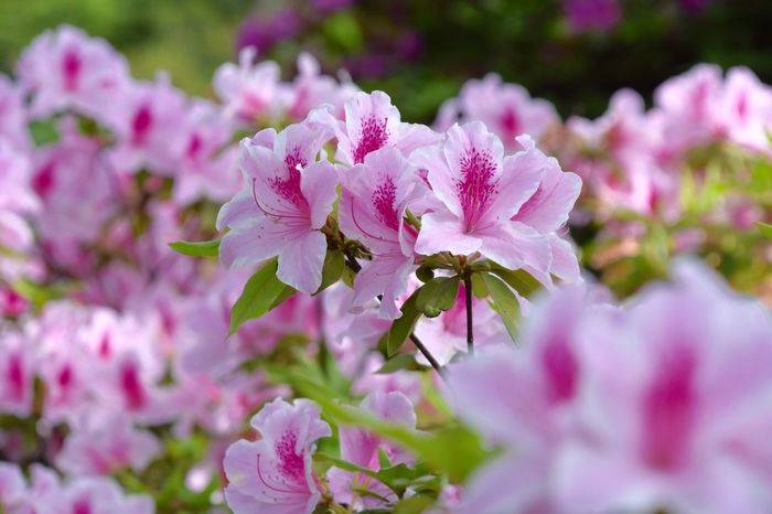 Pink Azalea Azaleas Pink Flower Flower Collection Flowerporn Flowers Flower Beauty In Nature Nature_collection Nature Naturelovers Nature Photography Natural Beauty つつじ お散歩Photo 旬の花😊🌸