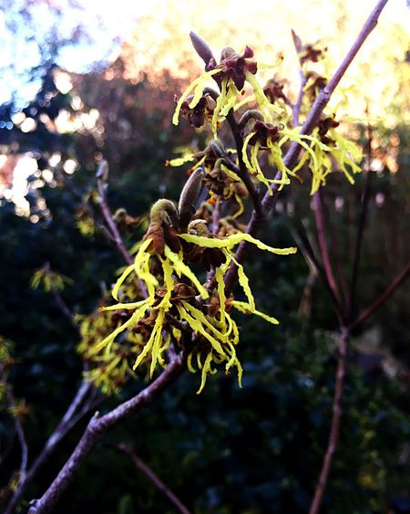 Witch hazel in bloom Enjoying The Sun Cambridgeshire IPhone Branch Outdoors Countryside Spring Has Arrived Nature Witch Hazel Flowers
