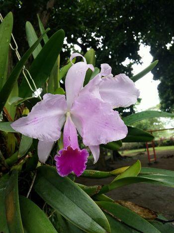 Y esta es la flor que nos representa.la Orquidia .nuestra flor nacional de colombia
