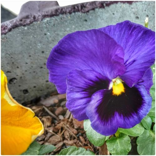 Purple Pansy! Purple Pansy Beauty In Nature Freshness Purple Flower Close-up Outdoors Purple ♥ Love Flowers🌷💕 Fragility Nature EyeEm Gallery EyeEm Nature Lover Cell Phone Photography