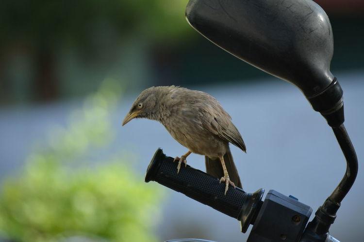 Bird Perching On Motorcycle Handlebar