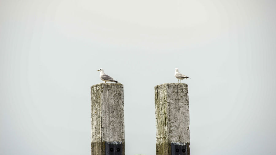 Wattenmeer Animal Animal Themes Animal Wildlife Animals In The Wild Bird Copy Space Day Group Of Animals Nature No People Outdoors Perching Pole Post Seagull Sky Two Animals Vertebrate Wood - Material Wooden Post
