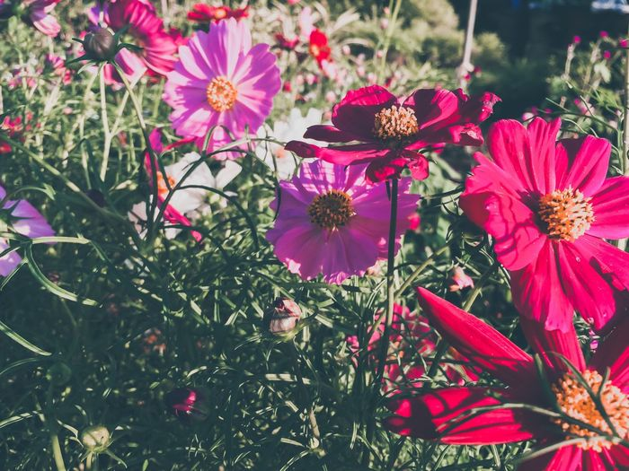 Sulfur cosmos colors flowers Sulfur Cosmos Sulfur  Flowering Plant Flower Plant Freshness Beauty In Nature Growth Fragility Petal Day Nature Flower Head Close-up No People Outdoors