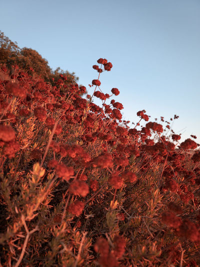 Low angle view of red flowers on field against clear sky