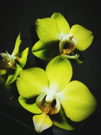 Close-up Yellow Flower Plant Potted Plant Orchid Phalaenopsis In Bloom