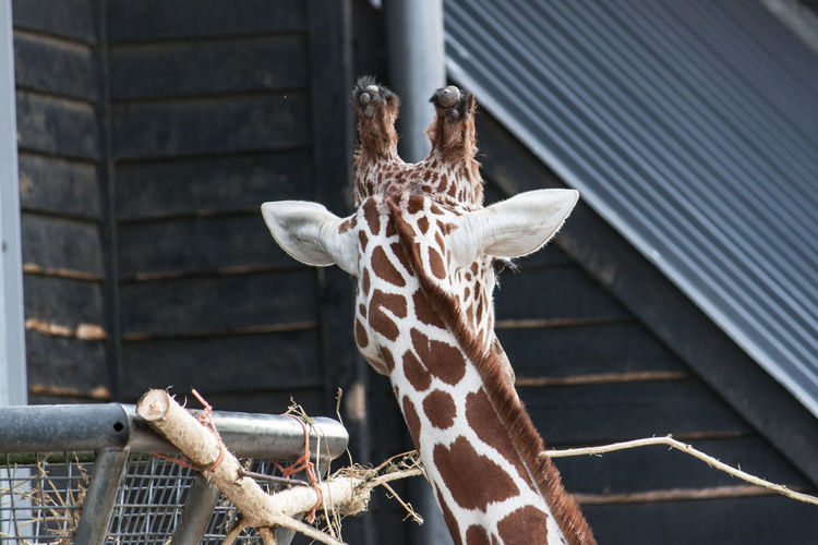 Giraffe looking away Animal Head  Animal Markings Back Day Giraffe Looking Away Nature No People Zoo