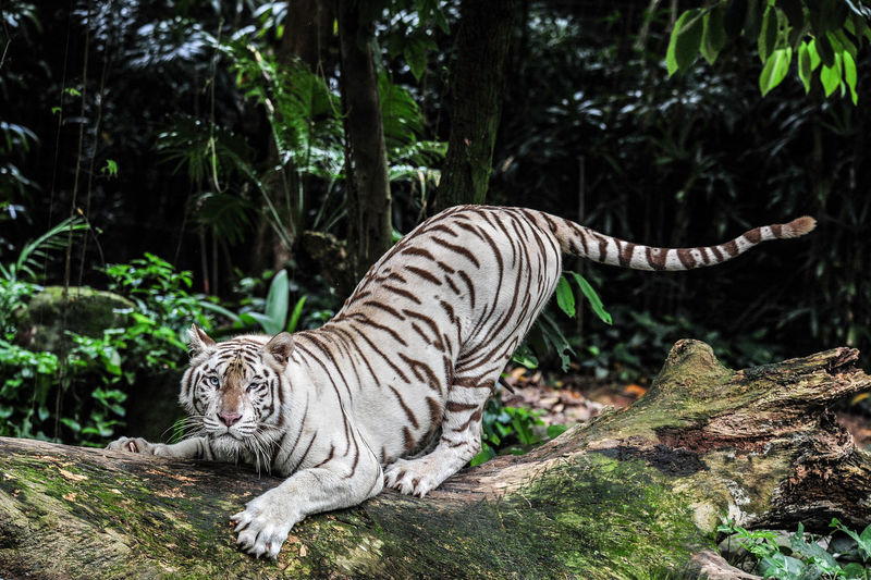 Portrait of majestic white tiger on fallen tree in forest