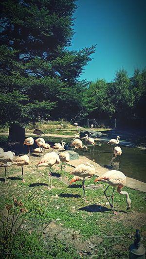 Pinkish Flamingos Flamingos In Water Flamingos Up Close Flamingos Standing On One Leg Zoo Zoo Animals  Northern California The Great Outdoors - 2017 EyeEm Awards