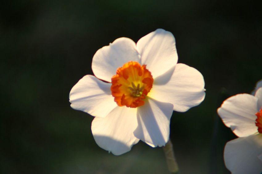 小花small flower 🌸 Garden Flowers Garden Photography Daffodils Daffodil Flower Petal Nature Growth Flower Head Beauty In Nature Fragility Plant Freshness Blooming No People Close-up Outdoors Day