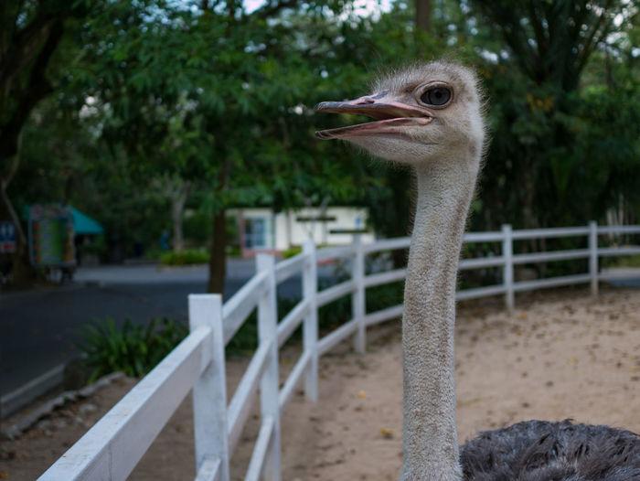 Closeup ostrich bird head standing in open zoo from thailand,selective focus ostrich bird head and neck. Animal BIG Bird Closeup Curiosity Eye Face Fauna Feather  Fur Gaze Large Leg Life Long Nature Neck Ostrich Park Standing