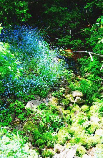 Bluebells Water