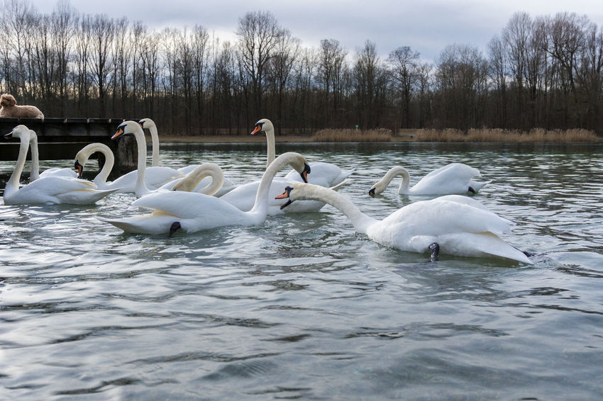 Swans at the lake Animals Beauty In Nature Birds Group Lake Lake View Lakeshore Lakeside No People Outdoor Swan Swans Trees Water Water Bird Waves White White Color Wildlife Attack Biting Bit