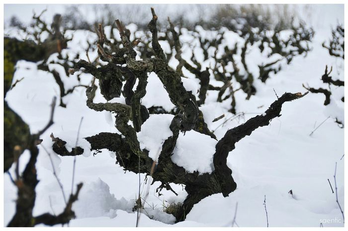 Winter Cute Cold Natural Nature Cold Days Amazing Beautiful Strain Wine