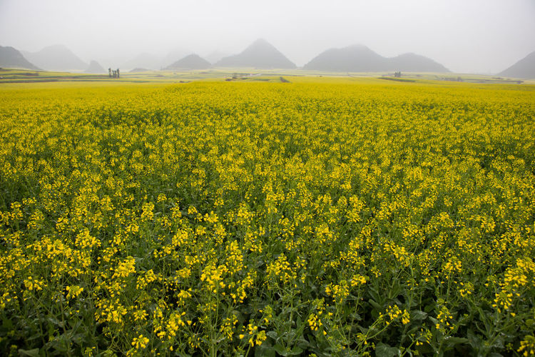 Yellow Beauty In Nature Flower Scenics - Nature Field Landscape Flowering Plant Agriculture Plant Growth Land Tranquility Tranquil Scene Rural Scene Oilseed Rape Environment Nature Crop  No People Farm Outdoors Springtime