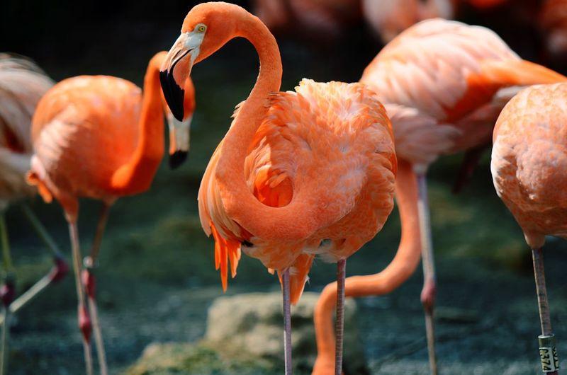 Orange flamingoes in nature