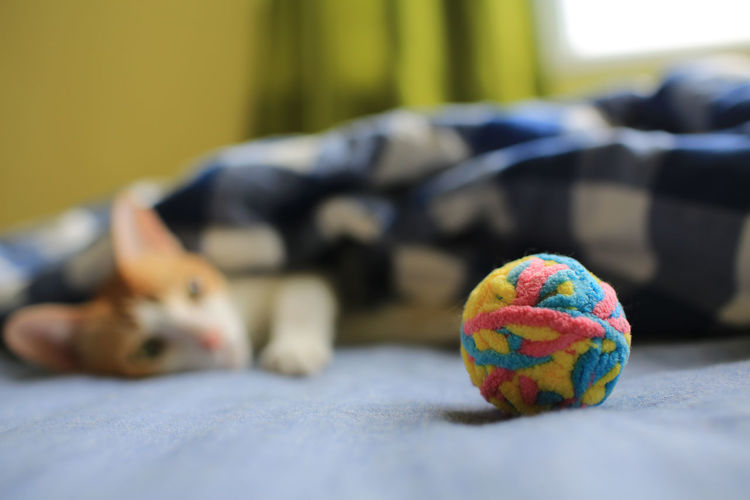 Playing With The Animals Cat Domestic Animals Indoors  Ball Animal Domestic Pets Mammal Animal Themes One Animal Focus On Foreground Ginger Cat Brown Cat