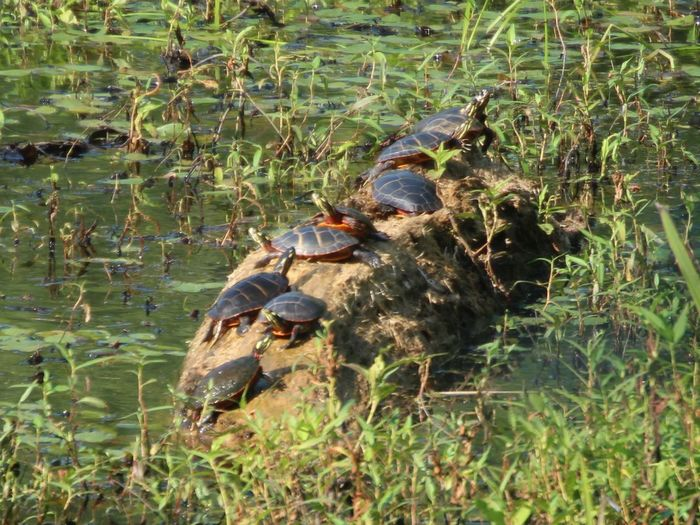 Turtles Sunning Animals In The Wild Animal Wildlife Nature Animal Animal Themes Day Plant