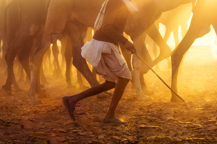 Legscape ~ A herd of camels being driven to the fare ground in Pushkar Camels Sunset Sunlight Saurabh Sirohiya Saurabh Sirohiya Photography Pushkar Pushkarcamelfair Legscapes Livestock Running Domestic Animals EyeEm Best Shots - Landscape EyeEm Best Shots My Best Photo
