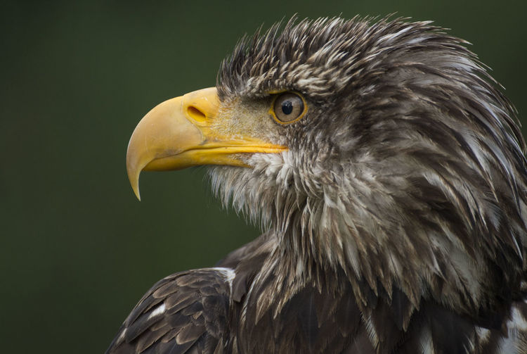 This is Kono. He's a three years old bald eagle and a very majestic and gentle nature. Animals Animal Animal Wildlife Animal Body Part Animals In The Wild Animal Themes Animal_collection Animal Photography One Animal Animal Portrait Nikon D5200 Nikonphotography Bird Birds Birds🐦⛅ Birds Of EyeEm  Birds Of Prey Eagle Bald Eagle Bald Eagles Eagles Young Eagle Young Animal Close-up Portrait Perspectives On Nature