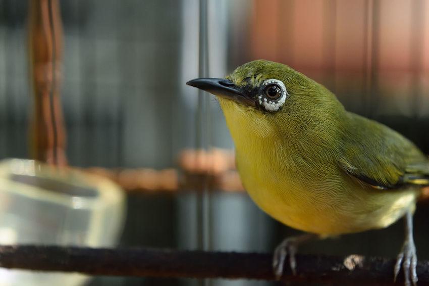 EyeEm EyeEm Best Shots EyeEm Nature Lover EyeEm Gallery Nikon D5500 Animal Animal Themes Bird Birds Burung Kit Lens Pleci Plecimania Plecimaniaindonesia