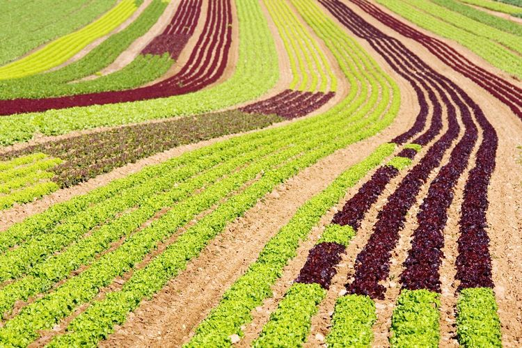 Agriculture Rural Scene Field Pattern Farm Tranquility Landscape Tranquil Scene Scenics Nature Outdoors Growth No People Beauty In Nature Day Backgrounds Terraced Field Salad Field Salad Field Plants 🌱 Plants