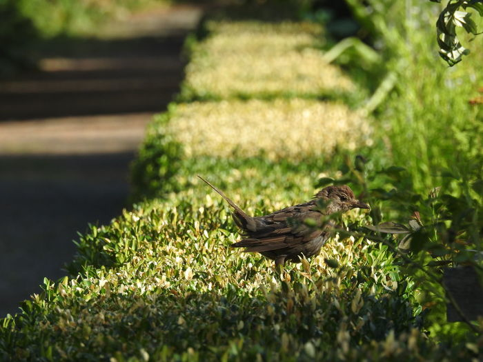 Birds Of EyeEm  Perspective Animal Animal Themes Animal Wildlife Animals In The Wild Beauty In Nature Bird Birds Day Grass Green Color Growth Hedge Nature No People One Animal Outdoors Perching Plant Selective Focus Side View Sparrow Sunlight Vertebrate