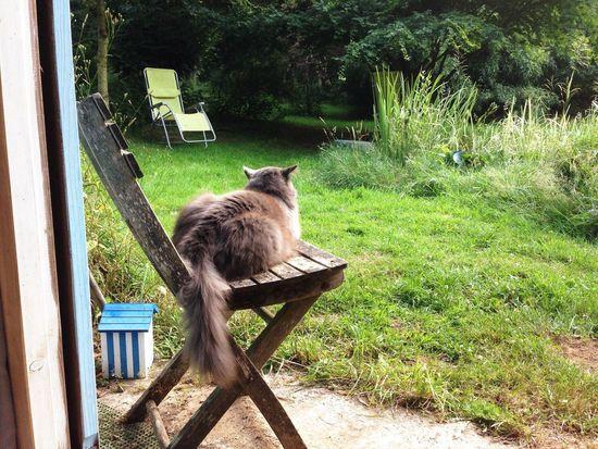 Pushkin at home Chair Pet Cat Animal Themes Animal Mammal One Animal Animal Wildlife Grass Sunlight Outdoors Day Nature
