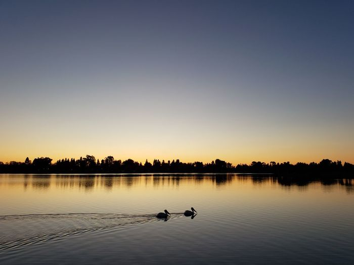 Silhouette birds swimming in lake against sky during sunset