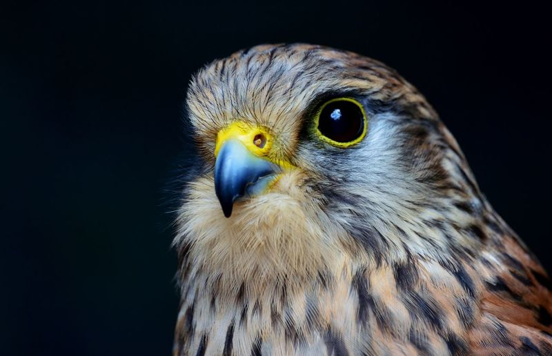 Animal Animal Head  Animal Themes Beak Beautiful Bird Bird Of Prey Bird Photography Captive Wildlife Check This Out Curiosity Follow4follow Hello World Look Looking At Camera Nikon D3200 No People One Animal Perching Rescue Sparrowhawk Wildlife Wildlife & Nature WOW 100likes