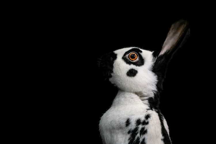 Black and white rabbit against a black studio background Rabbit Bunny  Isolated Black Background Black And White Rabbit One Animal Mammal Vertebrate Pets No People Indoors  Bunch Of Flowers Bunny 🐰 Bunny Rabbit Rabbits Black Studio Photography Low Key Photography