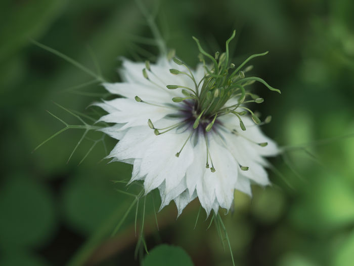 Nigella sativa Schwarzkümmelblume🌾 Blooming Close-up Flora Flower Flower Head Flowering Plant Focus On Foreground Fragility Freshness Growth Inflorescence Leaves Nature Nigella Sativa No People Outdoors Petal Plant Plant Part Selective Focus Softness Spring Vulnerability  White Color