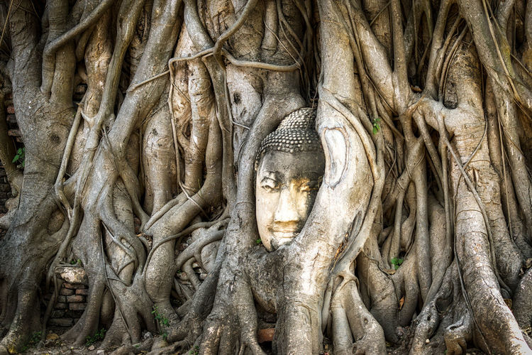buddha head in tree roots of bodhi or banyan tree in Ayutthaya, Thailand. Famous image in Wat Mahathat Sculpture Religion Statue No People Human Representation History Tree Belief Spirituality The Past Creativity Architecture Representation Place Of Worship Day Outdoors Ancient Civilization Intertwined Ayutthaya Buddha Head Buddha Head In The Root Banyan Tree Banyan Root Wat Mahathat Thailand