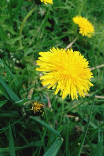 Yellow Flower Nature Beauty In Nature Plant Outdoors No People Field Green Color Front Focus Close-up