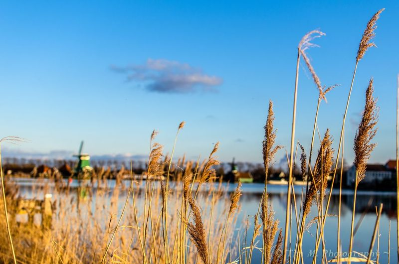 Perspective is everything. Windmill Lake View Lake River Countryside Clouds Blue Sky Dutch Dutch Landscape Holland Zaandijk Zaandam River Zaan Reeds Golden Growth Nature Plant Tranquility Tranquil Scene Beauty In Nature No People Outdoors Grass Landscape Water Sky Blue Close-up